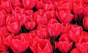 Red Tulips Prints - Red Tulips Print by Brian Mollenkopf