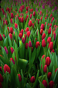 Sweden Photos - Red Tulips Field by Micael Carlsson