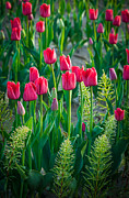 Agronomy Photo Prints - Red tulips in Skagit Valley Print by Inge Johnsson