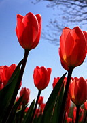 Flowers Photographs Prints - Red Tulips in Springtime Print by Tam Graff
