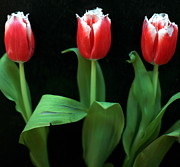 Black Background Pyrography Posters - Red tulips on black Poster by Tanya Polevaya