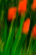 Bulb Flowers Prints - Red Tulips Print by  Onyonet  Photo Studios