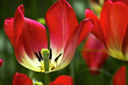 Red Tulips Petals Print by Heiko Koehrer-Wagner
