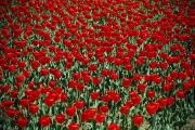 Lafayette Prints - Red Tulips With Green Stems Fill Print by Stephen St. John