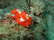 Ugly Art - Red Ugly Frogfish by MotHaiBaPhoto Prints
