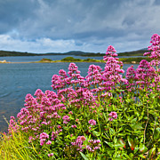 County Galway Framed Prints - Red valerian Framed Print by Gabriela Insuratelu