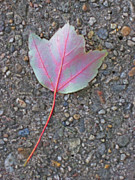 Photos Of Autumn Prints - Red Veined Leaf Print by Todd Breitling