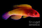 Reef Fish Posters - Red Velvet Fairy Wrasse Poster by Danté Fenolio