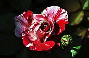 Bruster Metal Prints - Red Verigated Rose Metal Print by Clayton Bruster
