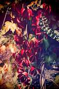 Red Leaves Photos - Red vine by Silvia Ganora