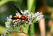 Queen Annes Lace Photos - Red Wasp on Lace by Kristin Elmquist