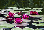 Water Lillies Prints - Red Water Lillies Print by Bill Cannon