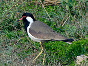 Lapwing Art - Red Wattled Lapwing 10 by Padamvir Singh