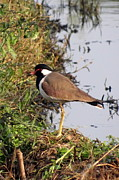 Lapwing Art - Red Wattled Lapwing 2 by Padamvir Singh