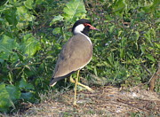 Lapwing Art - Red Wattled Lapwing 5 by Padamvir Singh