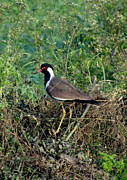 Lapwing Art - Red Wattled Lapwing 6 by Padamvir Singh