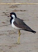 Lapwing Art - Red Wattled Lapwing 7 by Padamvir Singh