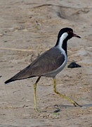 Lapwing Art - Red Wattled Lapwing 8 by Padamvir Singh