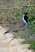 Lapwing Art - Red Wattled Lapwing 9 by Padamvir Singh
