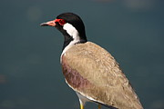 Lapwing Photos - Red Wattled Lapwing by Alvin Jonathan