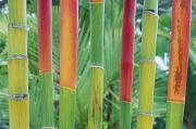Lanai And Molokai And Other Hawaiian Islands - Red Wax Palm Stalks by Ron Dahlquist - Printscapes