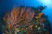 New Britain Posters - Red Whip Fan Coral With Diver Poster by Steve Jones