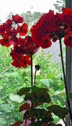 Glass Flowers And Leaves Prints - Red Window Geraniums Print by Pamela Patch