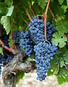 Winemaking Photos - Red Wine Grapes On The Vine. by Jacob Snavely