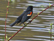 Image Of Bird Prints - Red Wing Black Bird Print by Debra     Vatalaro