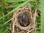 Mccombie Photos - Red-winged Blackbird Baby in Nest by J McCombie