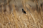 Blackbirds Posters - Red Winged Blackbird Poster by Ernie Echols