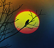 In The Sun Prints - Red Winged Blackbird in the Sun Print by Bill Cannon