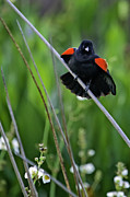 Red-winged Blackbird Framed Prints - Red-Winged Blackbird Framed Print by Rob Travis