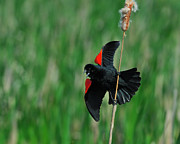 Red-winged Blackbird Framed Prints - Red-winged Blackbird Framed Print by Tony Beck