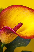 Calla Details Framed Prints - Red yellow calla lily Framed Print by Garry Gay