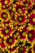 Red Photos - Red yellow daisies   by Garry Gay
