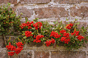 Stonewall Framed Prints - Redberries on the wall Framed Print by Eva Ason