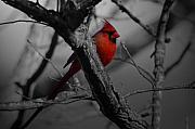 Red Cardinal Framed Prints - Redbird Framed Print by Shawn Wood
