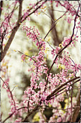 Budding Tree Prints - Redbud Branches Print by Datha Thompson