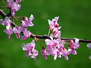 Linda Koester - Redbud in Bloom