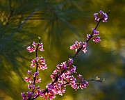 Backlit Prints Prints - Redbud Print by Rob Travis
