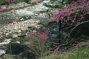 Spring Scenes Art - Redbud Trees In Bloom Along The Banks by Marc Moritsch