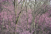 Spring Scenes Posters - Redbud Trees In Springtime Bloom Poster by Skip Brown