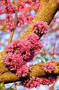 Red Bud Trees Posters - Redbud Trunk Blooms Poster by Jan Amiss Photography