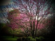 Northern Virginia Photos - Redbuds For Mama by Joyce  Kimble Smith