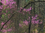 Red Bud Trees Posters - Redbuds in the Woods Poster by Joyce L Kimble