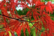 Red Leaves Photos - Redder Than Red by M  Nerrie