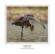 Waterfowl Prints - Reddish Egret 2 Print by Owen Bell