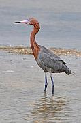 Egret Originals - Reddish Egret by Alan Lenk