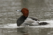 Storm Prints Photo Prints - Redhead Duck Flapping its Wings Print by Inspired Nature Photography By Shelley Myke